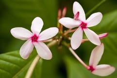 植物群带淡红色的白色 库存图片