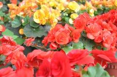 植物群开花的橙色工厂红色黄色 库存照片