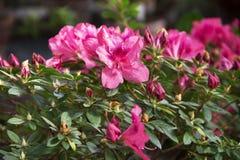 植物群 美丽的桃红色杜娟花灌木,特写镜头 免版税库存图片