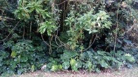 植物群DA末多ATLANTICA树植物和叶子的种类在位于PETROPOLIS的森林里里约热内卢巴西 库存图片