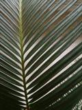 植物苏铁属宏指令  库存照片