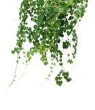 植物被隔绝的常春藤绿色藤上升热带 裁减路线 库存图片