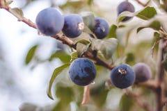 植物轮的莓果 免版税图库摄影