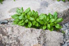 植物通过岩石增长 免版税库存图片