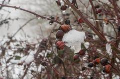 植物野蔷薇用在霜的莓果 免版税图库摄影