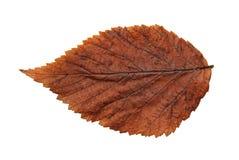 植物,在白色backgro的被隔绝的元素干秋天叶子  免版税库存照片