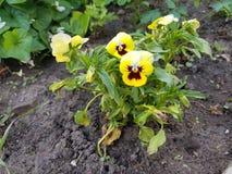 植物,黄色颜色花与黑暗的紫罗兰色心脏的在一个绿色词根,与浅绿色的叶子 土壤用gr盖 免版税图库摄影
