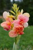 植物:canna杂种 图库摄影