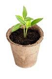植物从一块沃土在白色增长被隔绝 免版税库存图片