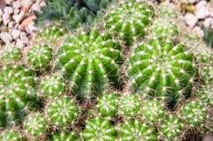 植物 仙人掌 免版税库存图片