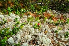 植物贝加尔湖taiga 免版税库存图片