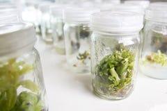 植物组织培养兰花 免版税库存图片