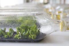 植物组织培养兰花 库存照片