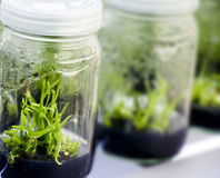 植物组织培养 免版税库存图片