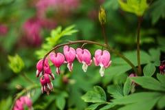 植物紫堇科在森林 库存图片