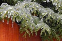 冻植物-杜松 免版税图库摄影