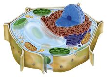 植物细胞 库存图片