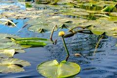 植物黄色百合看了在水Núphar lútea外面 库存照片