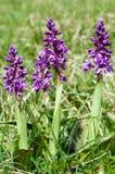 植物画象及早紫色兰花 图库摄影