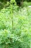 植物画象毒草名 库存图片