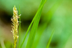 植物画象薹 免版税库存图片