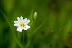 植物画象更加伟大的星形花香草 免版税库存照片
