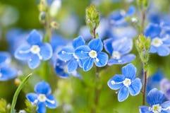 植物画象speedwell 免版税图库摄影