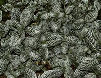 植物Fittonia Albivenis叶子  库存图片