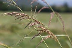 植物graminacea 免版税图库摄影