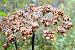植物Heracleum干燥种子。 免版税库存图片
