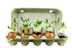 植物Prouted射击蛋壳的,安置在纸板 免版税库存图片