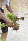 移植米幼木在草甸 免版税库存图片