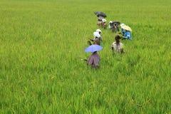 移植米幼木的女工 库存照片