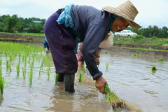 移植米幼木 库存图片