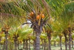 椰子农厂掌上型计算机 免版税库存图片