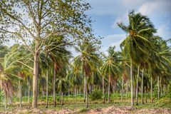 椰子农场在泰国 图库摄影