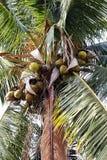 椰子农场,种植园椰子树 图库摄影