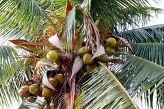 椰子农场,种植园椰子树 免版税库存照片