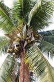 椰子农场,种植园椰子树 免版税图库摄影