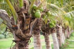 椰子农场 免版税库存照片