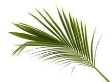 椰子叶子或椰子叶状体,绿色plam在白色背景离开,被隔绝的热带叶子与裁减路线 免版税图库摄影