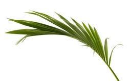 椰子叶子或椰子叶状体,绿色plam在白色背景离开,被隔绝的热带叶子与裁减路线 免版税库存图片