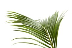 椰子叶子或椰子叶状体,绿色plam在白色背景离开,被隔绝的热带叶子与裁减路线 库存图片