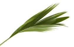 椰子叶子或椰子叶状体,绿色plam在白色背景离开,被隔绝的热带叶子与裁减路线 库存照片