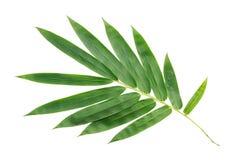 椰子叶子或椰子叶状体, 免版税库存图片