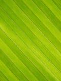 椰子叶子纹理 免版税库存图片