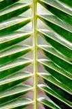 椰子叶子纹理 库存照片