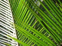 椰子叶子 免版税库存图片