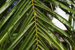 椰子叶子 图库摄影