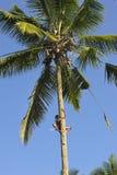 椰子在可可椰子的拔毛工攀登 免版税图库摄影